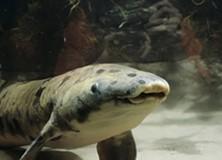 Australian or Queensland lungfish Neoceratodus forsteri