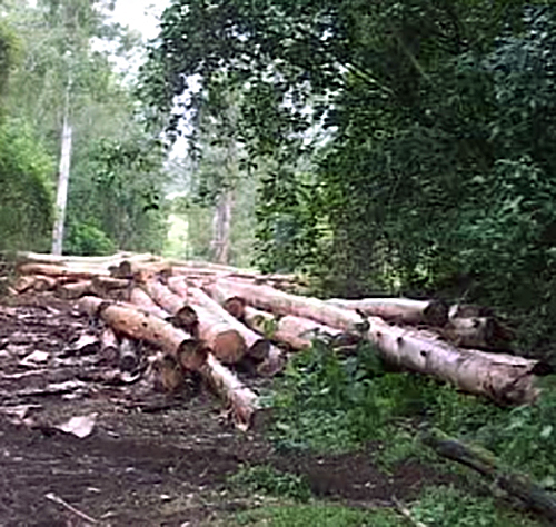 Felled logs in rainforest