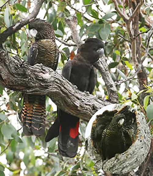 Female and male South-Eastern Red-Tailed Black-Cockatoo with nesting hollow inset