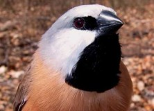 Black Throated Finch (Poephila cincta) Photo: Kim Maute, Black Throated Finch Recovery Team website