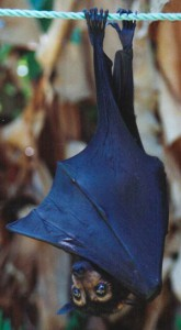 """Stephen"", a juvenile Spectacled Flying Fox"