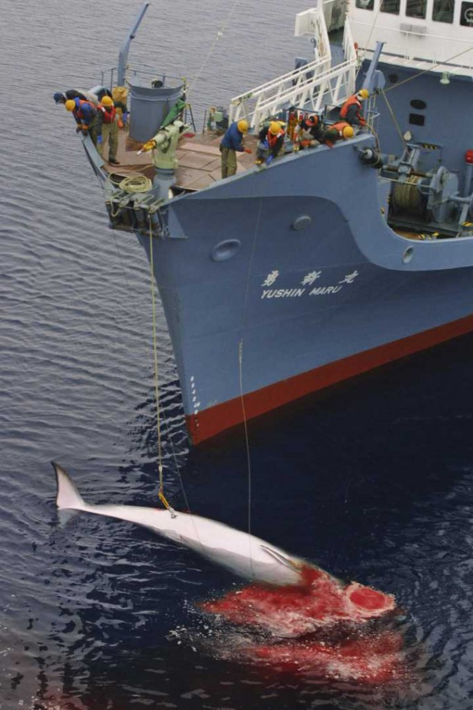 Minke whale killed by employees of Kyodo Senpaku Kaisha Ltd on 16 December 2001 approximately 40 nautical miles within the Australian Whale Sanctuary Source: Greenpeace photographer Jeremy Sutton-Hibbert, 2001