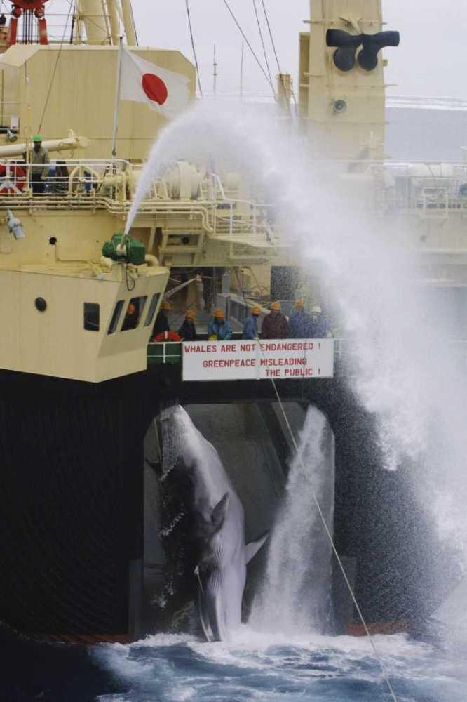 Minke whale being pulled onto factory ship Nisshin Maru Source: Greenpeace photographer Jeremy Sutton-Hibbert, 2001